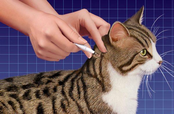 Капают капли кошке на холку