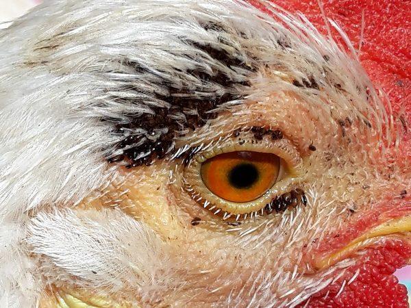 Блохи на коже возле глаз курицы
