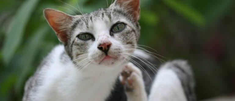 Кот чешется от блох