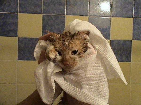 Кота вытирают полотенцем