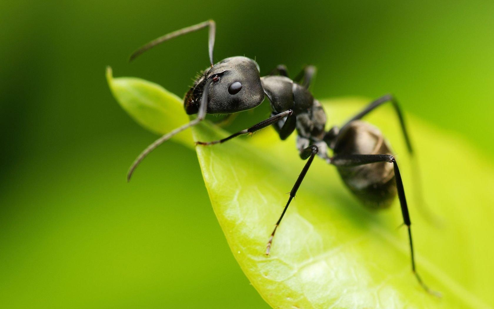 Как выглядит самка рыжего домашнего муравья