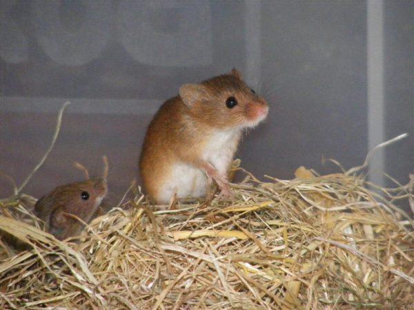 Мыши в опасности