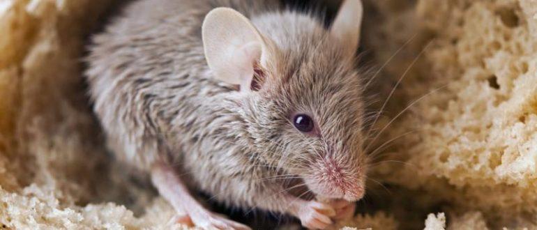 Мыши отбивают наш хлеб