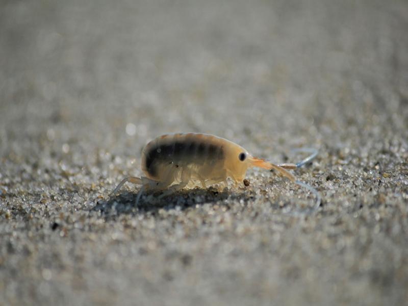 Песчаные блохи: как крошечные насекомые приносят огромный вред