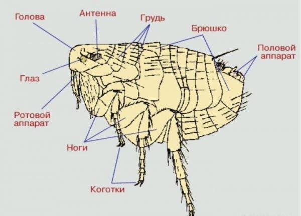 Схема строения тела блохи