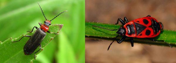 Сравнение жука и клопа