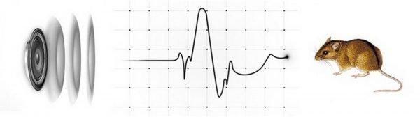 Влияние ультразвуковых волн на грызуна