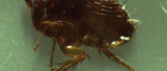 Человеческая блоха под микроскопом