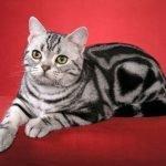 Европейская короткошерстная (кельтская) кошка