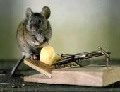 Избавление от мышей с помощью мышеловки