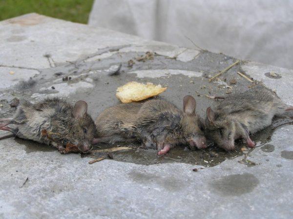Мыши в клеевой ловушке