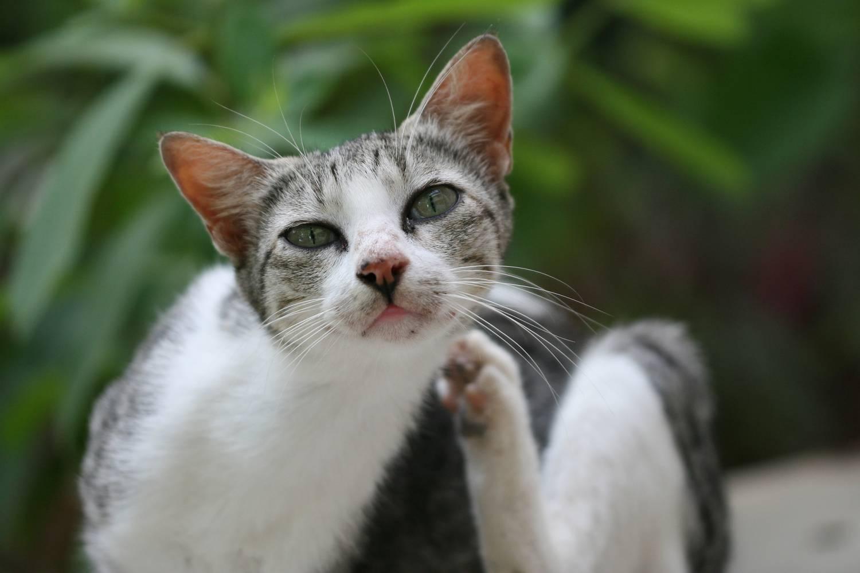 Блохи атакуют кошку — как защитить любимого питомца