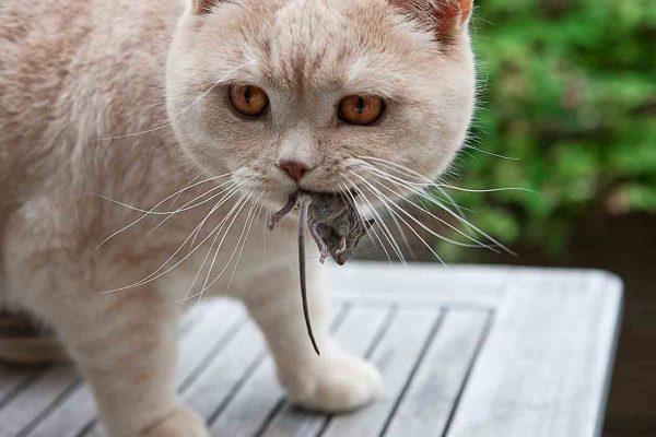 Кот ловит крыс