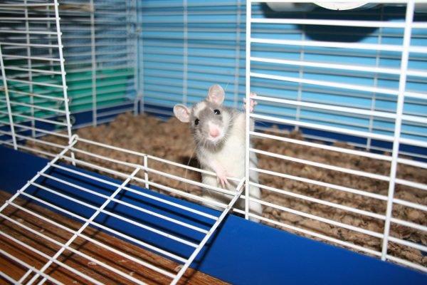 Крыса в клетке