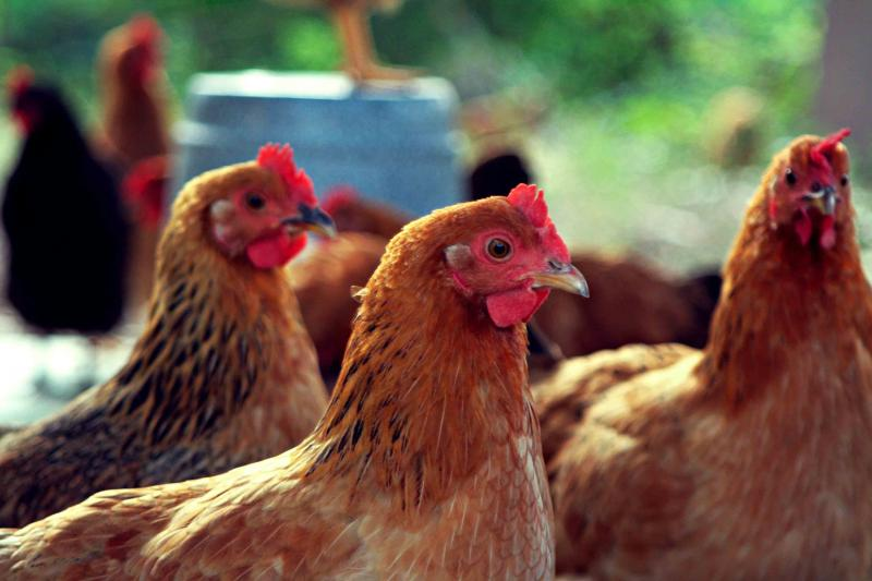 Куриные вши: как бороться с паразитами и не допустить их появления