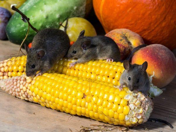 Мыши обгрызают овощи