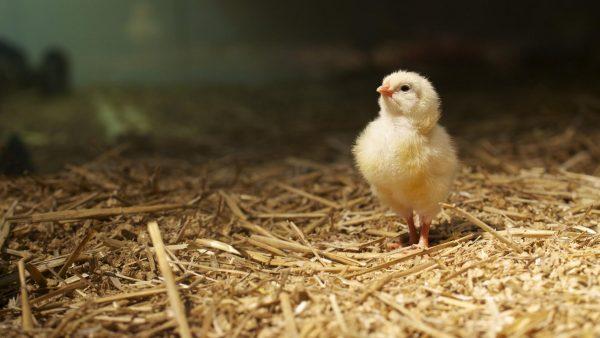 Обработка цыплят