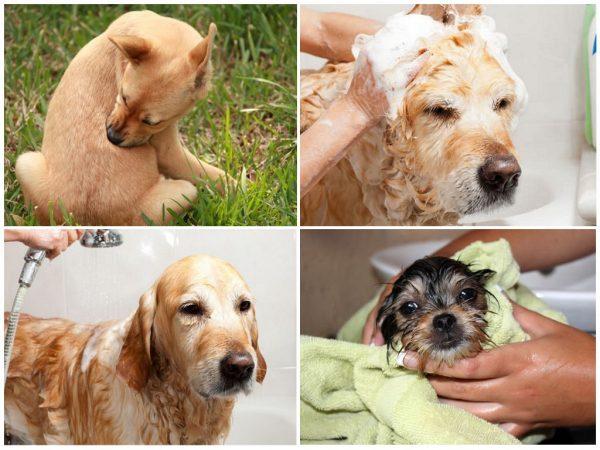 Обработка собаки шампунем от блох