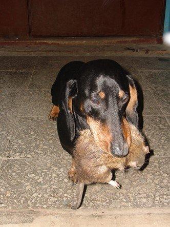 Такса поймала крысу