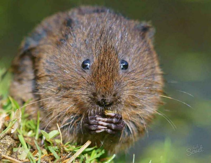 Радикальные и гуманные методы борьбы с земляными крысами на участке