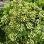 анис растение
