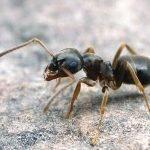 бледноногий муравей