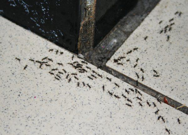 чёрные муравьи в доме
