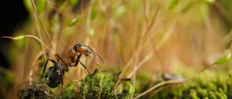 Лесной муравей во мху