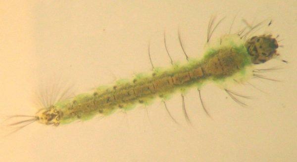 личинка малярийного комара