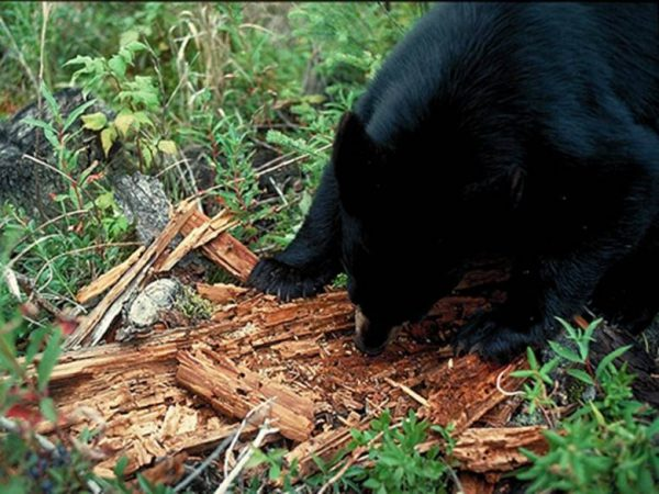 Медведь ест муравьев