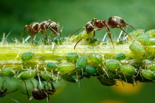 муравей и тля