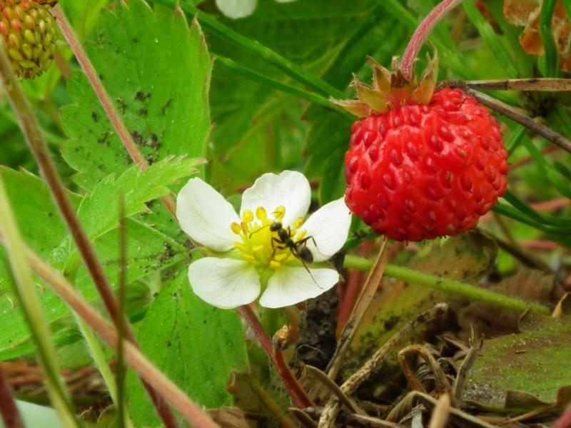 Борьба с муравьями на посадках клубники: народные средства, химические препараты и радикальные меры