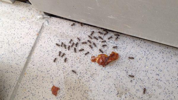 скопление муравьёв