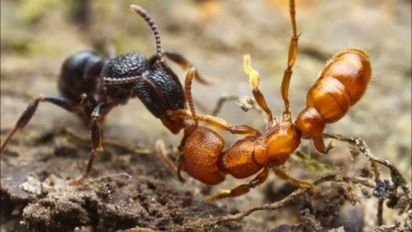 муравьи дерутся