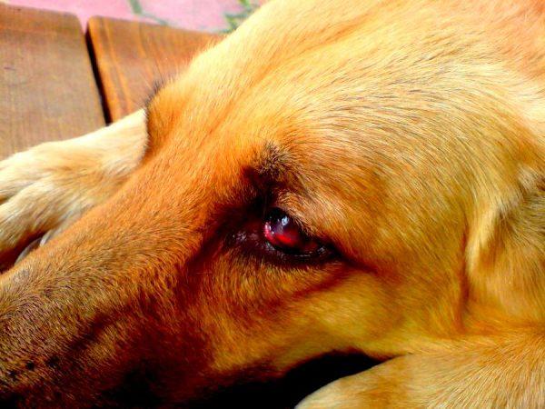 Слезотечение у собаки
