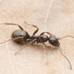 тёмно бурый муравей