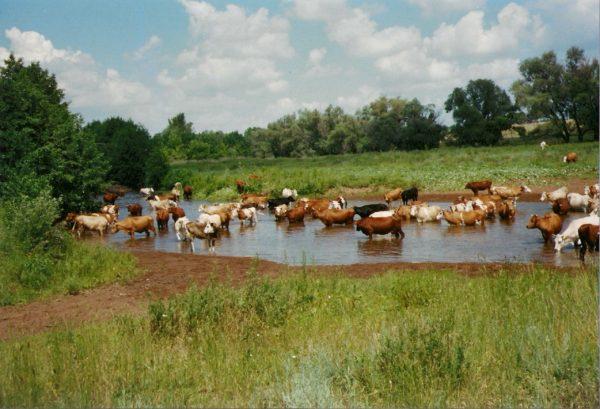 стадо коров у водоёма