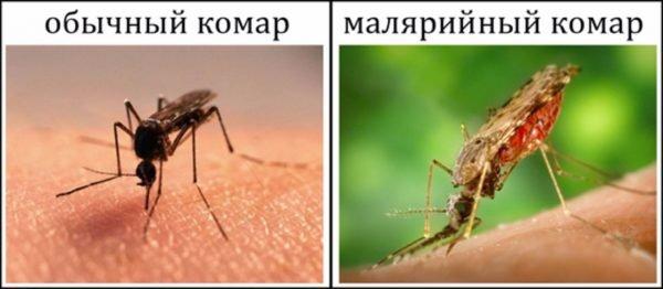 сравнение малярийного комара и обычного