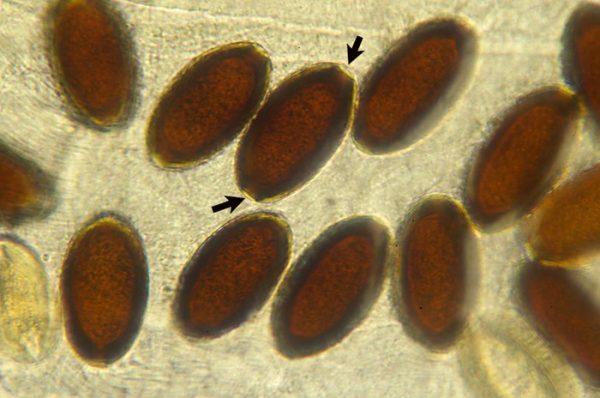 яйца малярийных комаров