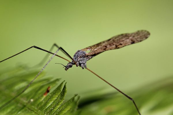 Комар на листьях