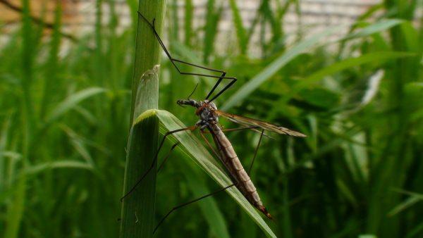 Комар-пискун