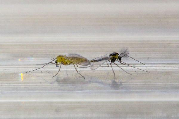Спаривание комаров
