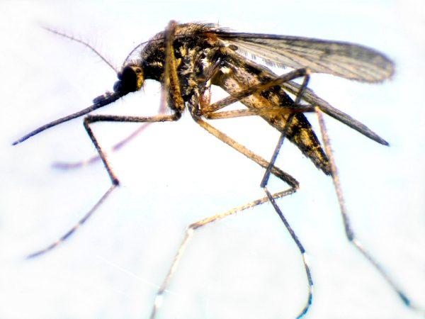 Взрослая особь комара