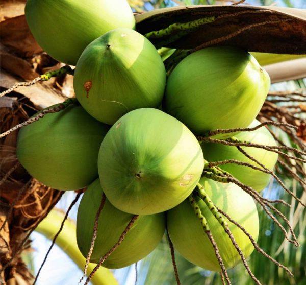 Зелёные кокосы