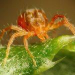 Боярышниковый паутинный клещ