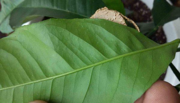 Лист с крапинками на нижней поверхнности