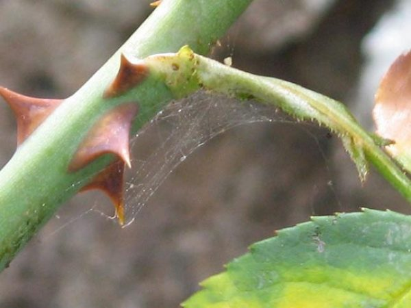 Паутина на стебле розы