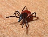 Укусы крошечного паразита могут привести к необратимым последствиям