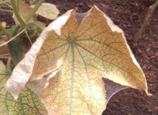 Засохший лист огурца
