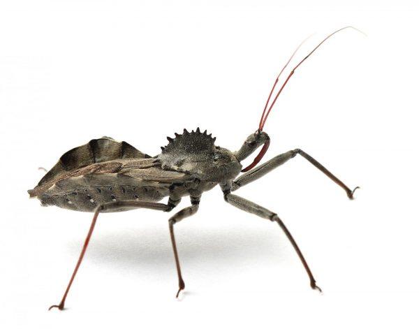 Колёсный жук